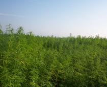 V Španielsku objavili najväčšiu marihuanovú plantáž v Európe