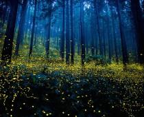 Rozprávkové fotografie svetlušiek v Japonsku očarili svet